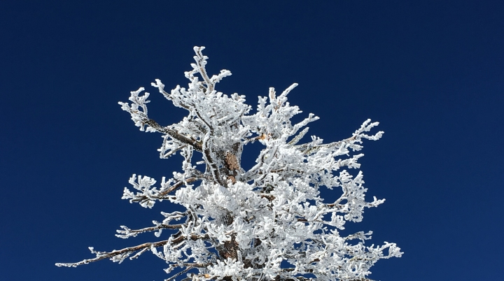icy-alpine-tree